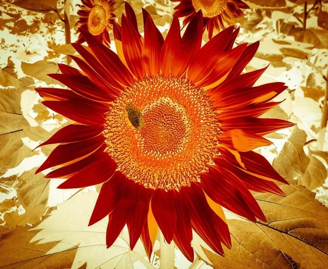 Sunflower vignetted