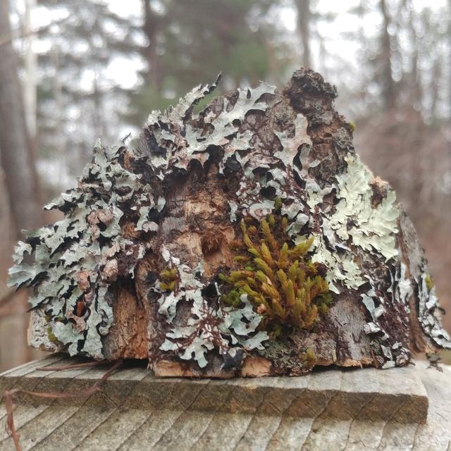 Mossy Lichen Original